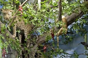 Iene e Leopardo