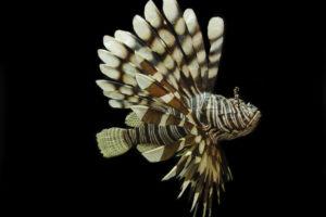 Pesce scorpione