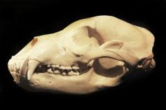Cranio di Orso