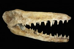 Cranio Ambuloceto