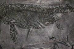 Fossile Ittiosauro