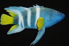 Pesce diavolo
