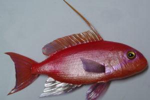 Castagnola rossa