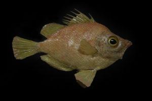 Pesce tamburo