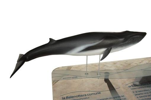 Balenottera comune